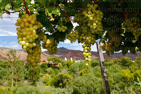 Grape vines near Villa Abecia village, Chuquisaca Department, Bolivia