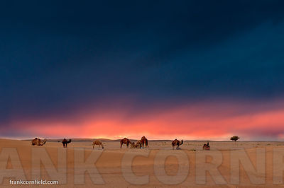 Camels at sunset Morocco