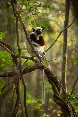 Coquerel's Sifakas at sunrise, Anjajavy