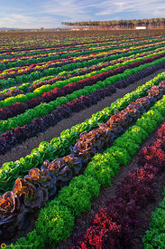 Rows of Mixed Greens in the Field #9