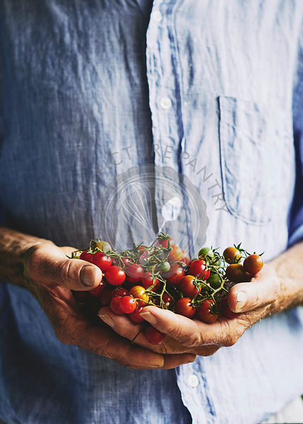 Freshly picked cherry tomatos in farmers hands.
