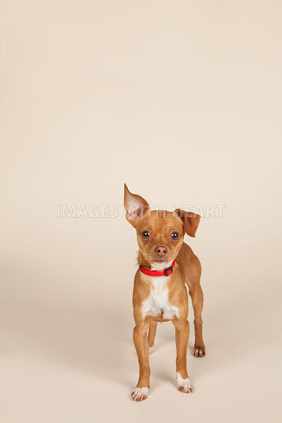 Small Dog Full Body Tan Background