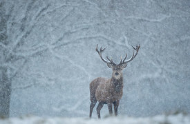 Red Deer Stag in a Blizzard