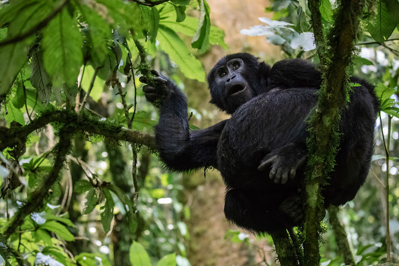 Gorilla from the Mubare Group Feeding in a Tree