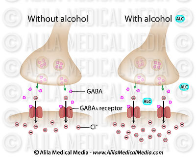 Alcohol on GABA synapse labeled