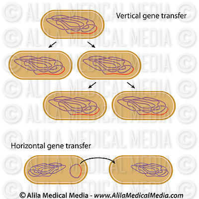 Vertical versus horizontal gene transfer in bacteria