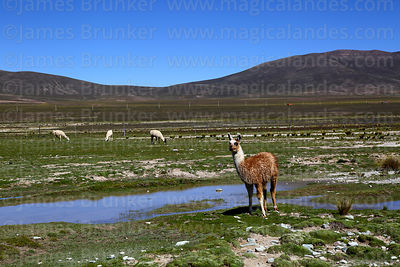 Camelids photographs