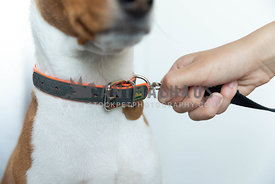 woman attaching leash to dog collar