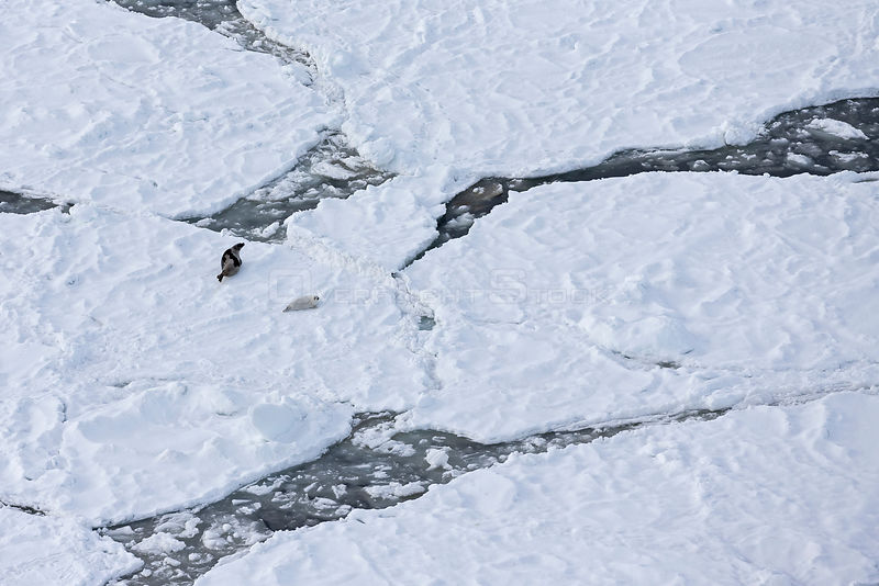 Aerial view of female Harp seal (Phoca groenlandicus) with pup on sea ice, Magdalen Islands, Gulf of St Lawrence, Quebec, Canada, March 2013.