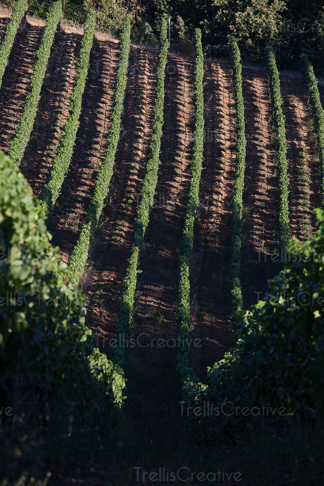 Rows of green lush vines form a magical pattern on the hillside vineyards