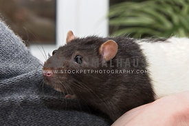 dark brown and white pet rat held by owner