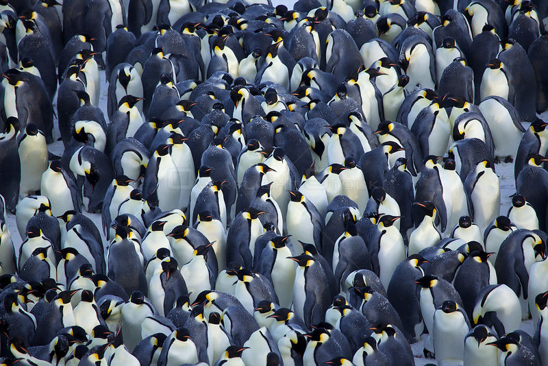 Emperor penguin (Aptenodytes forsteri) huddle in centre of colony, Antarctica, August.