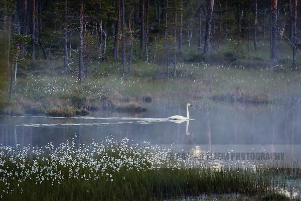 Swan in the lake in Finnish Lapland
