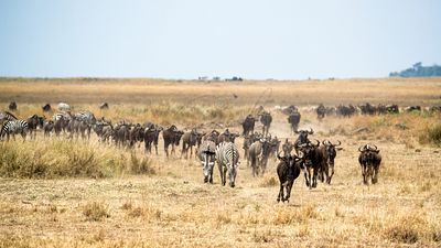 Zebra and Wildebeest Migrating in Kenya