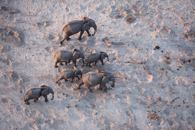 Aerial view of African elephant family (Loxodonta africana) traveling through parched landscape during drought conditions, Northern Botswana.  Taken on location for BBC Planet Earth series, October 2005