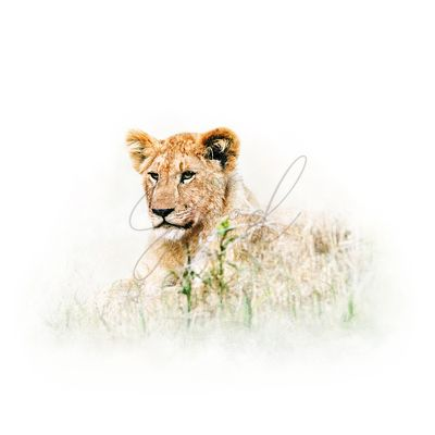 Baby Lion in Africa Isolated on White