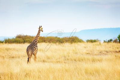 Masai Giraffe Walking in Kenya Africa