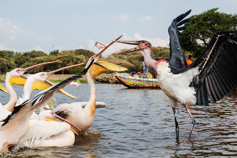Marabou Stork and White Pelicans Squabbling over Fish