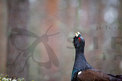 Capercaillie on Lek at May Day 2010