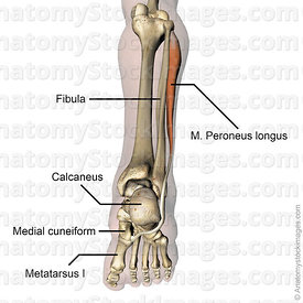 lowerleg-musculus-peroneus-longus-fibularis-muscle-medial-cuneiform-metatarsi-tendon-back-skin-names