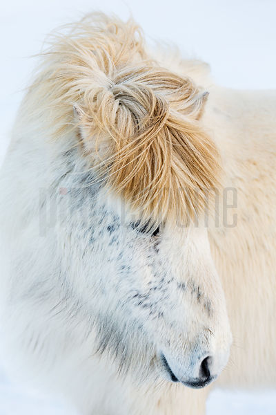 Portrait of an Icelandic Horse