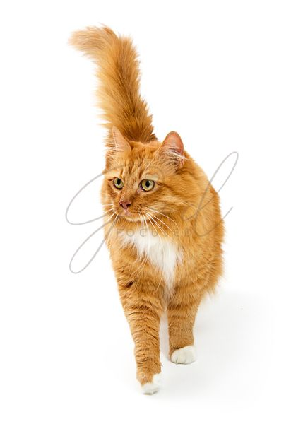 Orange Cat Walking Forward on White