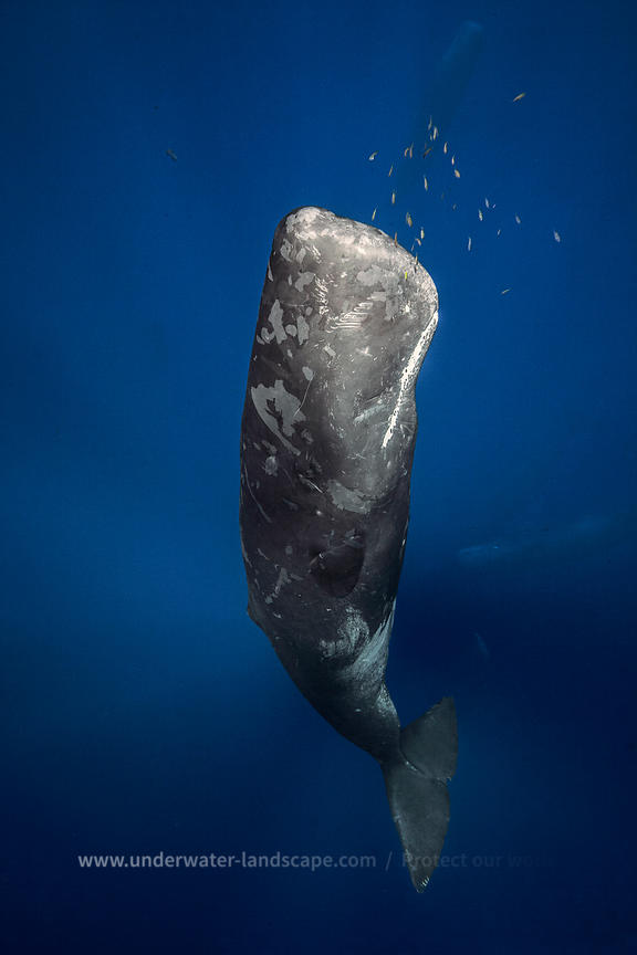 Sperm whale underwater photographer - 2