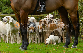 Quorn fox hounds at the meet at Jubilee House