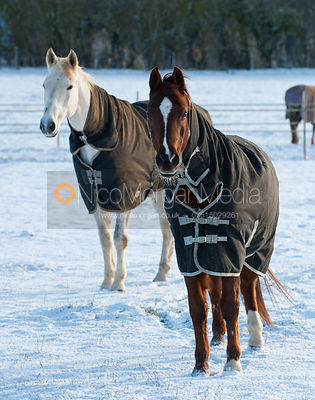Horses in snow Equestrian Stock Images