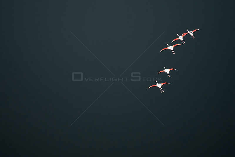 Aerial view of Lesser Flamingos (Phoenicopterus / Phoeniconaias minor) in flight. Lake Magadi, Kenya.