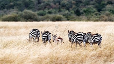 Zebra Famly Walking in Grasslands of Kenya