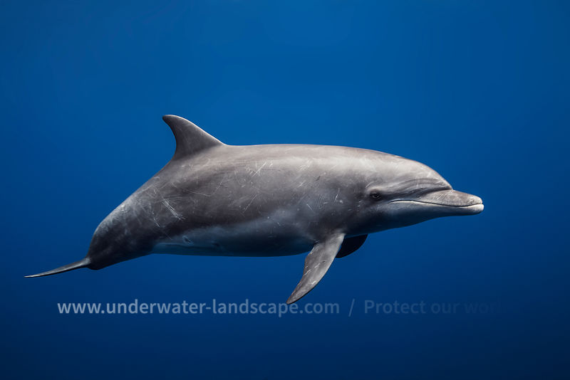 Tursiops Truncatus Dolphin