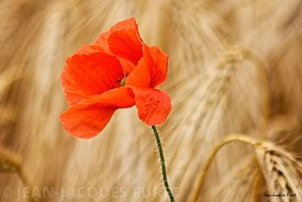 Coquelicot-MG0300-2017-06-25