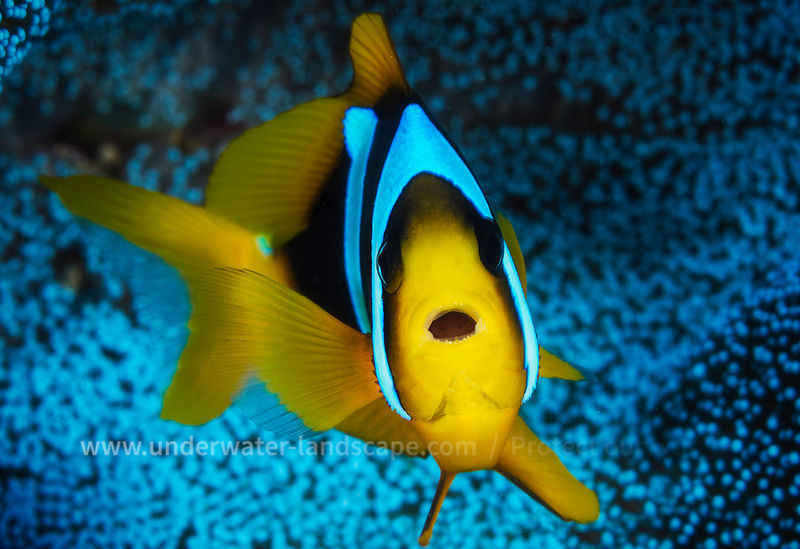 Yellow multicolor tropical fish In the blue