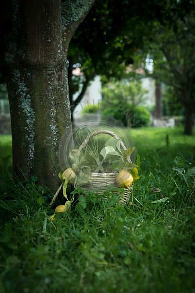 Freshly picked lemons in a basket