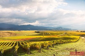 Vineyards, Blenheim, Marlborough sound, New Zealand