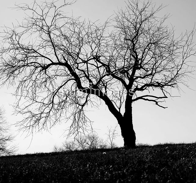 Silhouette of leafless tree (black and white)