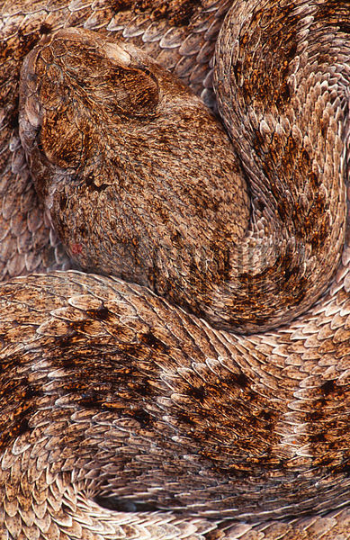 Western diamond-backed rattlesnake (Crotalus atrox), overhead view
