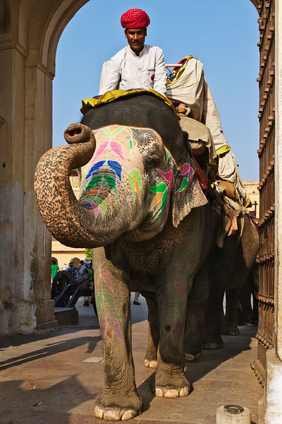 Elephants Transporting Tourists to the Amber Fort