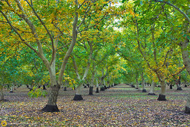 Walnut Orchards in Fall #2