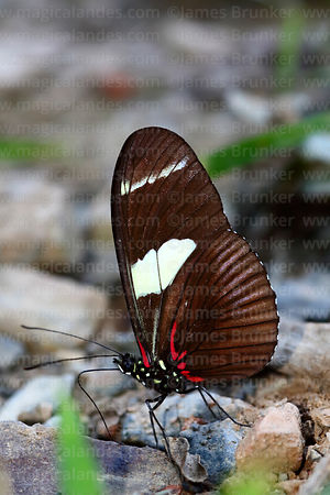 Wallace's Longwing butterfly ( Heliconius wallacei )