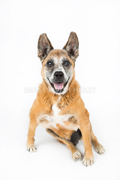 Large old dog full body white background