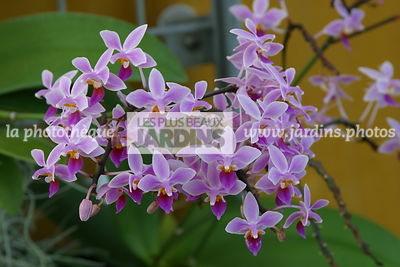 Phalaenopsis equestirs (orchidée)