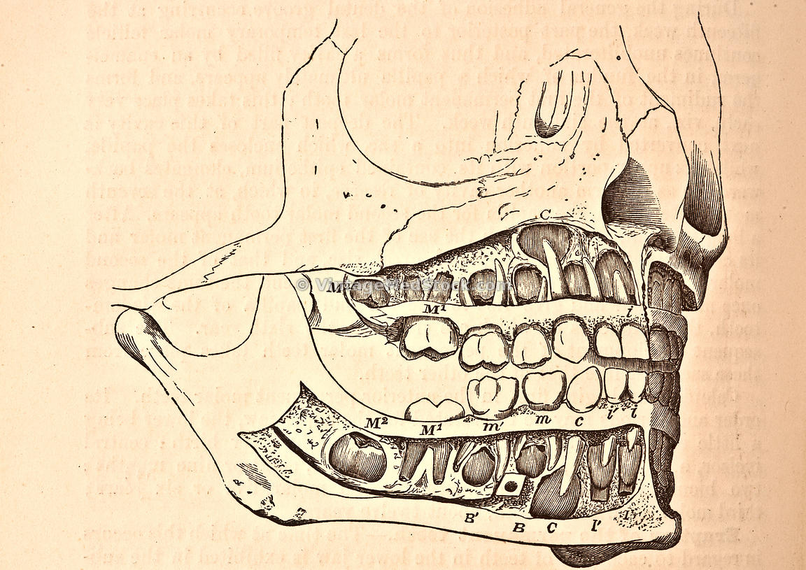 Jaw and skull features including teeth