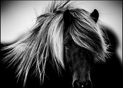 Long and wavy hair of wild horse, Iceland 2015 © Laurent Baheux