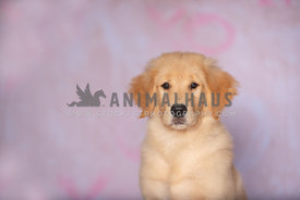 close up of golden retriever puppy sitting in front of pink backdrop