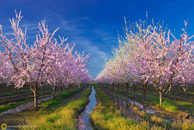 Peach Orchards in Bloom #4