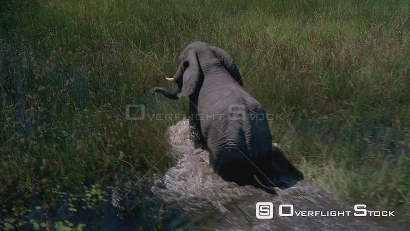 Aerial elephant walking through tall grass and water Zimbabwe
