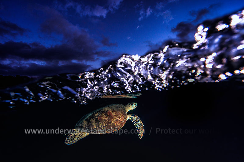 Green turtle at blue hour!