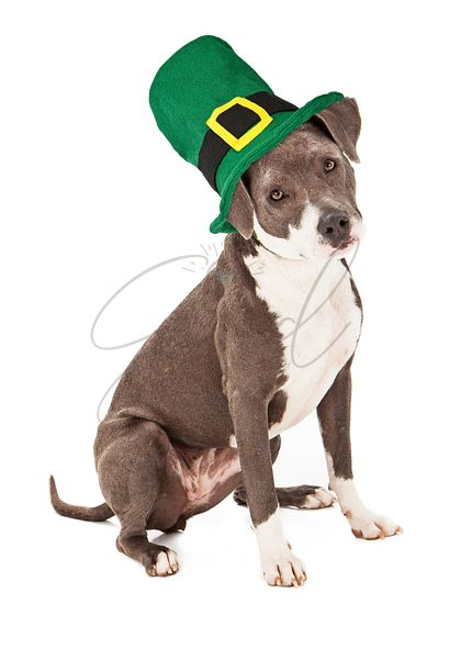 Pit Bull Mix Wearing St Patricks Hat